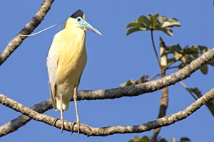 Capped heron perched on tree branch