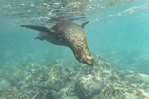 Sea lion underwater Galapagos Islands