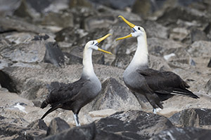 Waved albatrosses Galapagos Islands