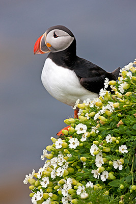 Ultimate Puffins, Iceland