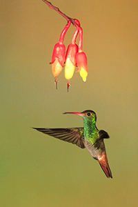 Hummingbirds of Ecuador's Andean Cloud Forest