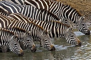 Zebras drinking from watering hole in Kenya