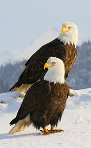 Bald Eagles of Alaska's Kachemak Bay