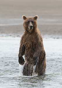 A brown bear stands in the waters of Lake Clark