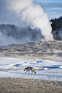 Wolf near Yellowstone geyser
