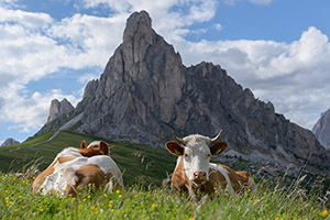 Cattle taking a rest beneath Italy's Dolomites