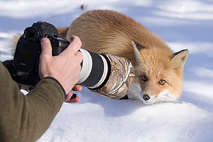 Upclose photography of a fox in Japan