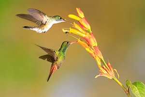 Emerald and rufous tailed hummingbirds feeding