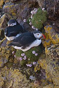 Puffins on rock ledge in Iceland