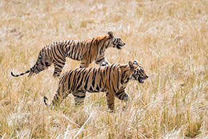 A pair of tigers in India