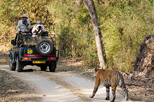 Photographing tigers in India