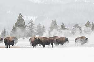 Bison in Yellowstone National Park 2018