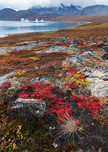 Fall color on Scoresby Sound's tundra