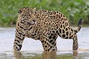 Jaguar wading in the water