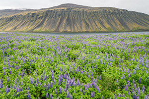 Iceland wildflowers