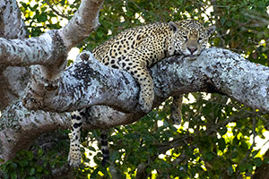 Jaguar in tree
