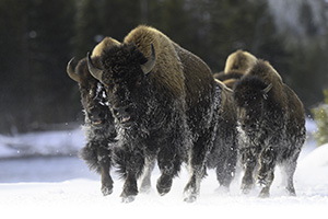 Bison on the move in Yellowstone