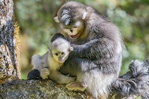 Mother Yunnan snub-nosed monkey grooming young