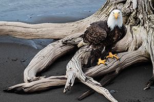 A bald eagles pauses on a stump