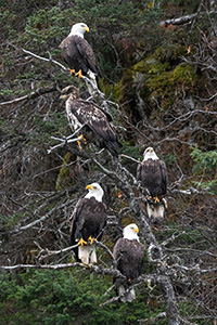 Bald eagles gather in a tree in Kachemak Bay Alaska