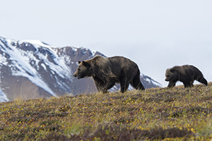 Mother bear and cub in Denali National Park