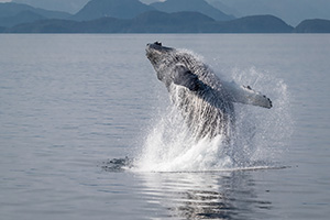 Breaching humpback in SE Alaska