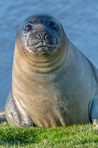 Elephant seal pup on the Falkland Islands