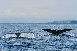 Tail flukes of humpback whales