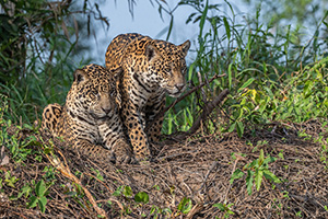 Pair of jaguars at river's edge in Pantanal