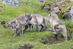 Arctic fox pups coming out of den
