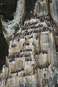 Thick-billed murres on cliff