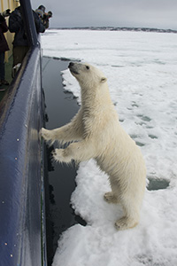 A curious polar bear approaches our boat