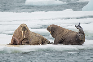 Hauled out walruses