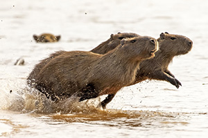 Capybara take to the waters on the river's edge