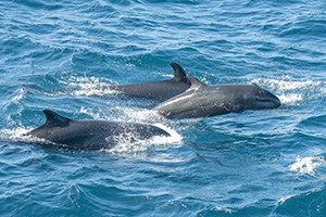 Pilot whales in Galapagos