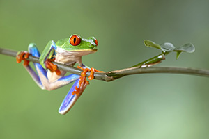 Red-eyed tree frog clings to limb