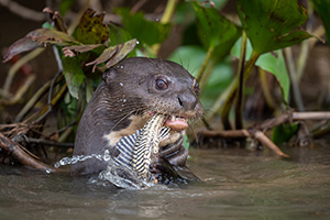 River otter with fish in Cuiaba River