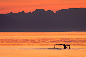 Humpback whale fluke with sunset