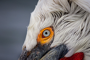 Closeup of pelican eye