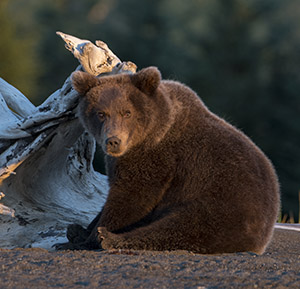 Bear cub in alpenglow