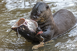 A river otter with his catch