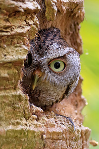 Screech owl peeking out of a tree