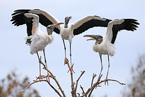 A trio of wood storks