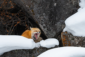 Red fox perched on rocks and snow