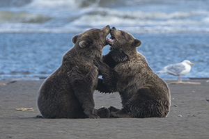 Bear cubs playing in Lake Clark National Park, Alaska