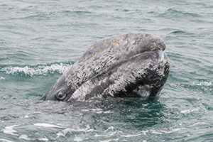 Gray whale spyhopping in Baja Mexico