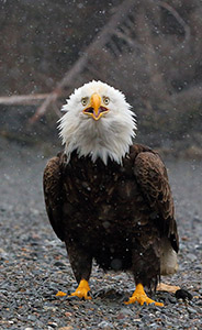 Bald eagle Kachemak Bay, Alaska