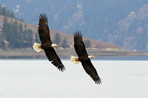 A pair of bald eagles near Homer, Alaska