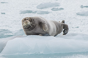 Bearded seal hauled out on ice in Spitsbergen