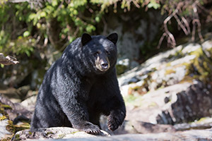 Black bear Alaskan coast